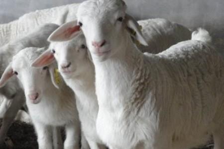 山羊如何安全过冬?山羊冬天要注意什么?