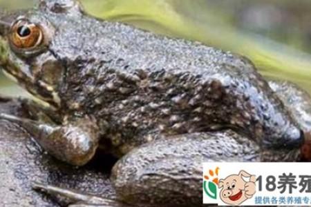 牛蛙养殖需要掌握哪些技能 _水产养殖(养牛蛙的技巧)