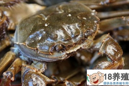 正宗的阳澄湖大闸蟹是什么样的? _水产养殖(养大闸蟹的技巧)
