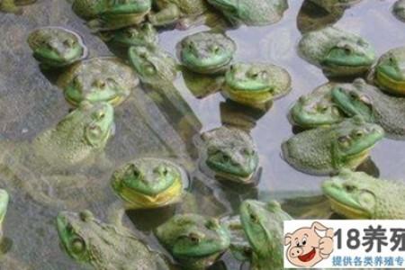 牛蛙养殖有哪些污染? _水产养殖(养牛蛙的技巧)