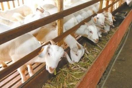 夏天养羊如何增肥?夏天怎么养羊增肥?