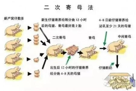 小猪的集中和寄养技巧