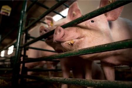 储存前后,猪的价格波动加剧,大家都不知道