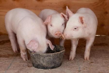 你知道甘草在养猪中的妙用吗?