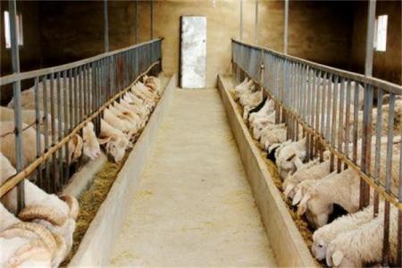养羊需要注意什么?