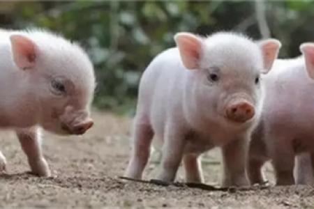 母猪不发情的原因,怎么做?