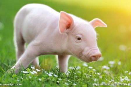 随着猪价一跌再跌,养猪门槛越来越高?