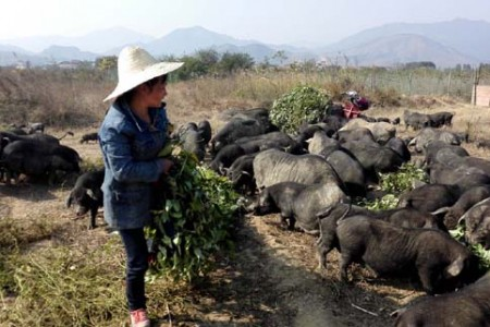 贫困家庭养猪致富