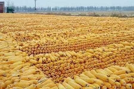 2021年稻麦市场化将凸显玉米波动性可能加大