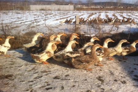 冬季养鸭应注意的六个方面