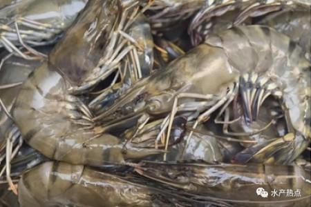 猛!通过这种方式饲养斑节对虾,平均总虾产量提高了30%。激动吗?