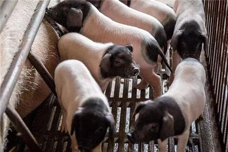 非洲猪瘟疫情减弱,影响生猪生产能力恢复,生猪周期有可能再次延长