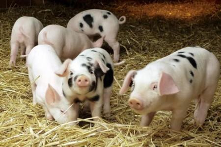 6月到8月,生猪屠宰会如期停止吗?注意三个因素!