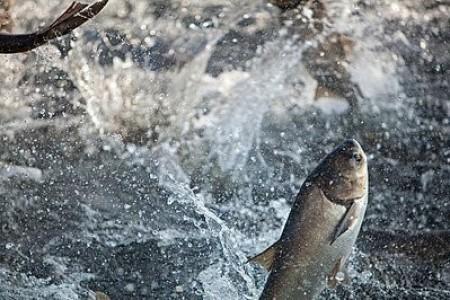 鲢鱼养殖技术