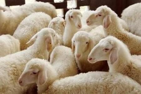 冬天养羊怎么储草?能不能圈养绵羊,常年吃干草?