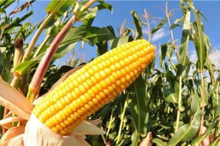 特别关注:3月是玉米市场的转折点?