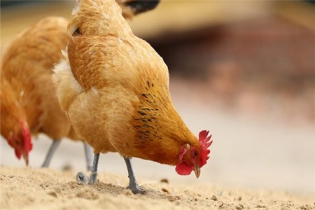 土鸡的生产特点是什么?影响土鸡养殖效益的因素有哪些?