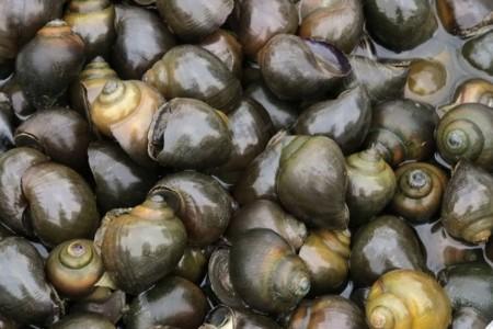蜗牛怎么养?福寿螺养殖技术介绍