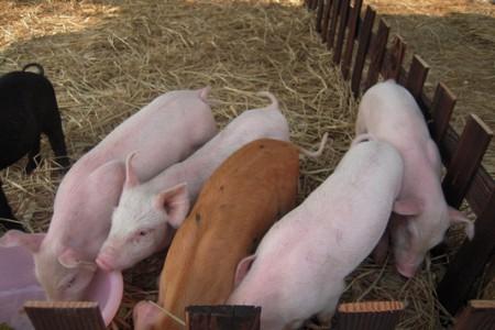 每只断奶仔猪所需的畜棚面积是多少?