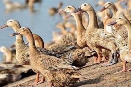 生鸭前有什么症状?产蛋前需要注意什么?
