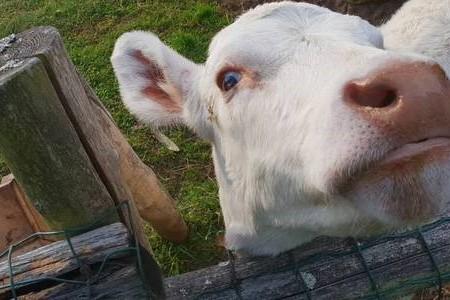 奶牛产后少奶怎么办?什么,催乳剂?