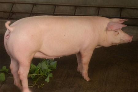 猪场消毒注意事项
