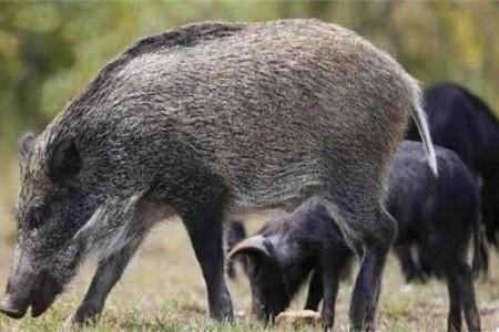 养殖特种野猪有什么要求?特种野猪养殖有什么优势?