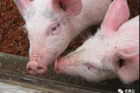 必须重视非洲猪瘟的生物安全、传播途径和防控措施