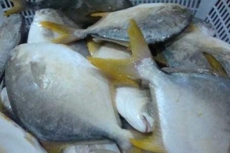 金鲳鱼可以人工养殖吗?金鲳鱼网箱养殖技术