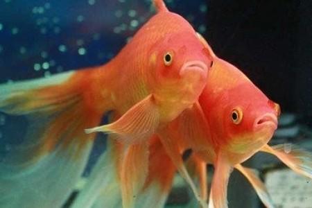 金鱼吃什么食物?金鱼的人工繁殖方法