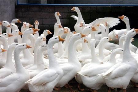 养鹅技术中冬季多产蛋技术