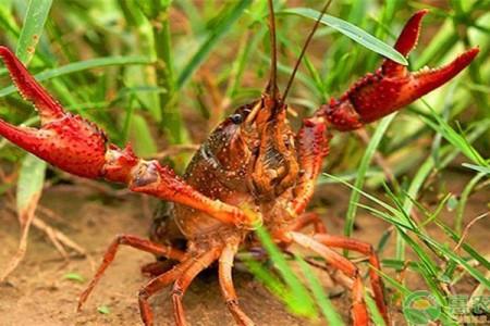 龙虾的人工养殖