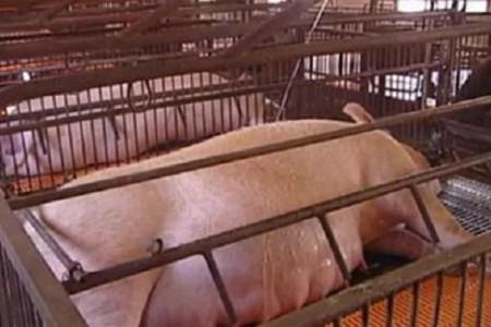 看母猪产前状态忘记具体分娩时间