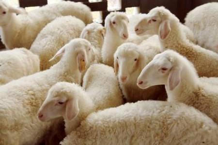 湖羊可以圈养吗