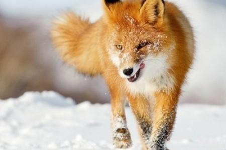 狐狸有哪些品种?狐狸的生活习性