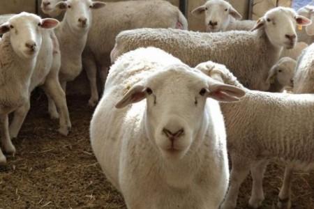 如何管理家里的母羊