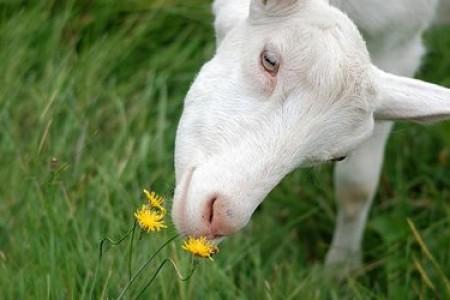 2020年,绒山羊、母羊、羔羊综合营养调控示范户基本情况调查顺利开展