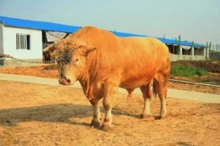 鲁西黄牛的生长周期有多长