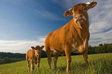 哪些奶牛应该淘汰?奶牛淘汰的标准是什么?