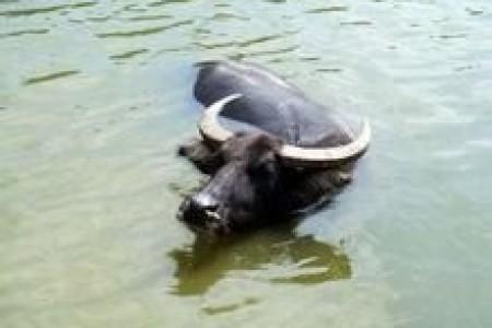 水牛的繁殖过程涉及到什么?养水牛需要注意什么?