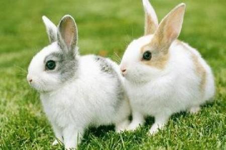 肉兔养殖需要注意什么?肉兔养殖要点