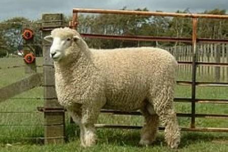 羊吃盐有什么好处?羊为什么喜欢吃盐?