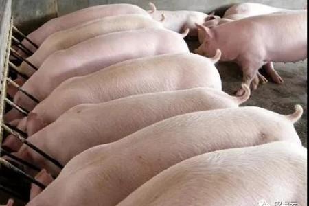 这个比例可以提高育肥猪的饲料转化率