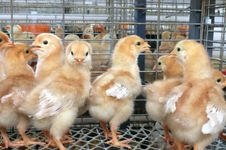如何饲养管理幼鸡?小鸡需要多久才会发光?