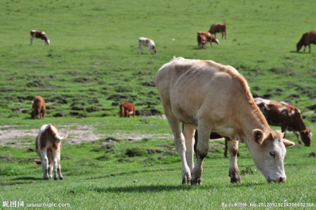 养殖的牛吃铁丝、钉子等金属怎么办?