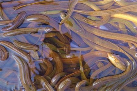 黄鳝的饲养管理