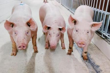 猪价持续下跌!今年猪肉价格已经下跌了13周
