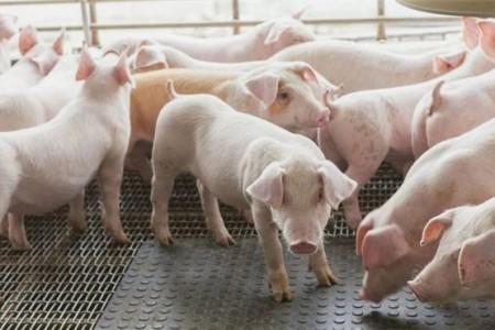 如果你想让二胎母猪生更多的孩子,你应该从第一胎开始做保健