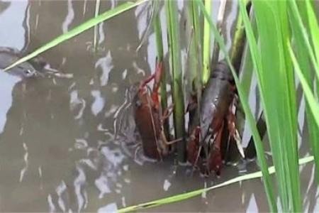 稻田小龙虾夏季养殖管理要点