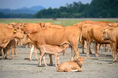 今年牛的价格是多少?养牛能赚钱吗?